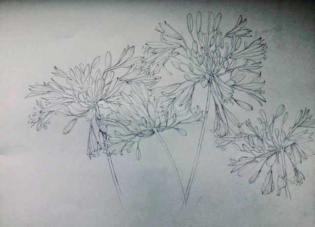 Agapanthus study - pencil