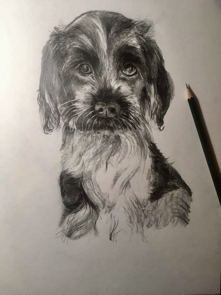 Spaniel pup- pencil